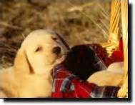 potomac valley golden retriever club chesapeake golden retriever club puppy information