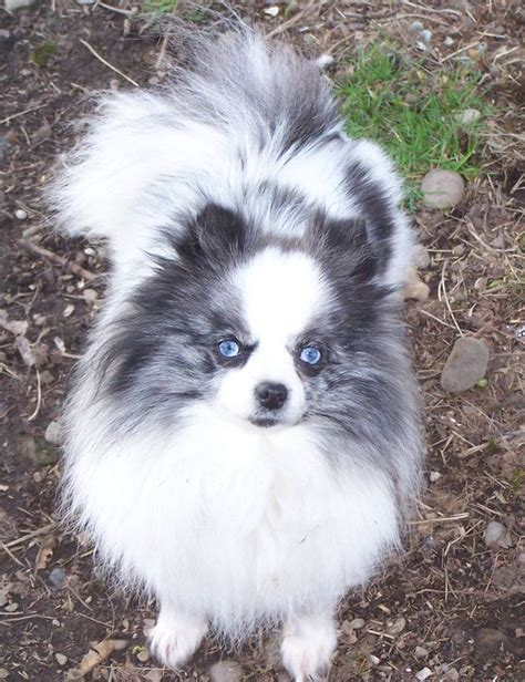 blue pomeranian pictures blue merle pomeranian with beautiful blue pomeranian blue merle