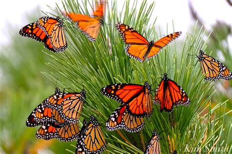 the monarch of the chasing monarchs whirlwind trip to stone harbor and cape