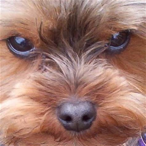 yorkie to adopt miniature terrier yorkie rescue