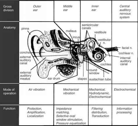 three main sections of the ear outer and middle ears human brain barnard health care