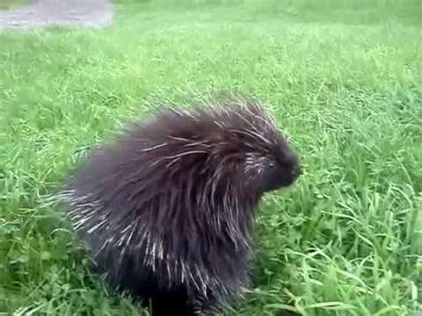 attacked by porcupine argument with a porcupine vidoemo emotional unity