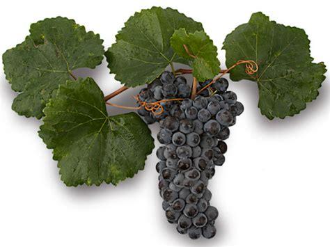 imagenes uva garnacha uva garnacha variedades de uvas para vinos de espa 241 a