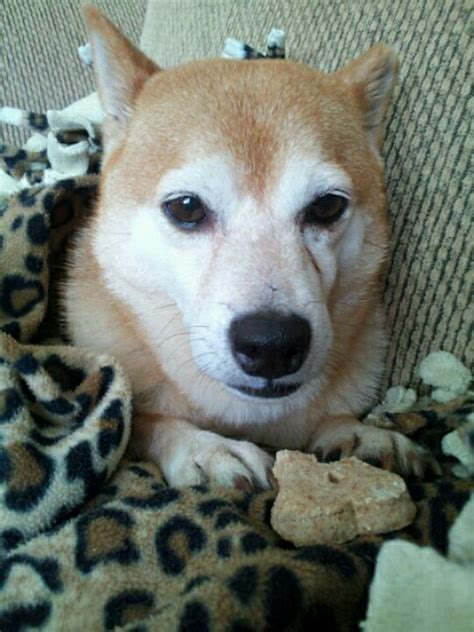 amish puppies shiba inu our rescue quot patty quot she is five a half years she spent