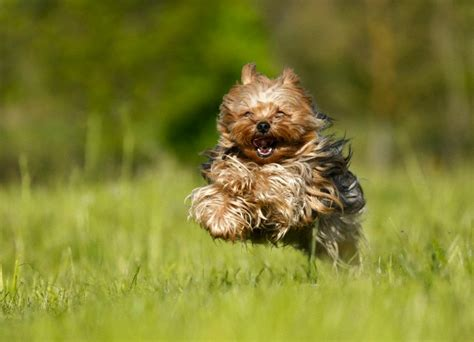yorkie puppy tips about yorkie health tips yorkie puppies for sale teacup dogs moringa for dogs