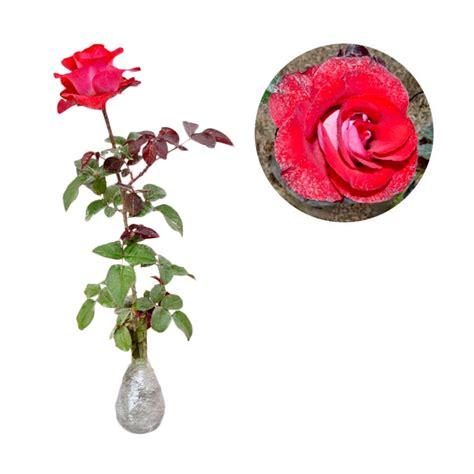 Jual Bibit Bunga Mawar Biru jual kebun bibit mawar pelangi tanaman bunga hias
