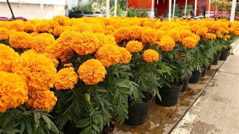 imagenes de flores de muertos precio de flores para d 237 a de muertos podr 237 an incrementarse