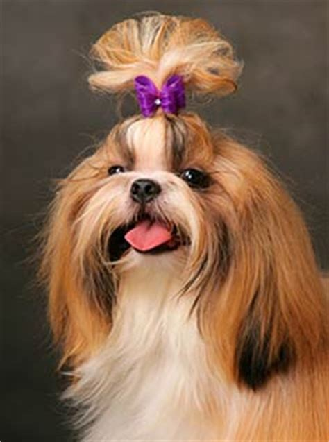 shih tzu ponytail shih tzu breed information