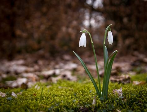 free photo snowdrop spring snowdrops free image on