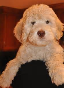 labradoodle colors australian labradoodle colors labradoodles of the