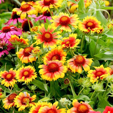 gaillardia mesa bicolour bright p9 all perennial plants