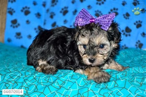 yorkie doodle puppies for sale uk 25 best ideas about yorkie poo for sale on