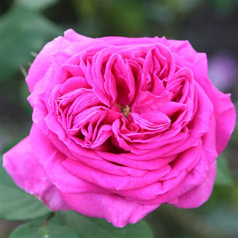 Buy Roses by Buy Mme Isaac Pereire Bourbon Rosa Madame Isaac