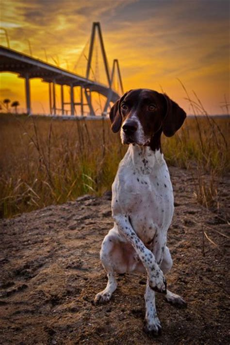 german shorthaired pointer puppies sc looking gorgeous photos and german shorthaired pointer on