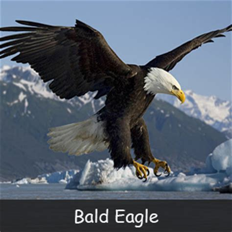 The Bald Eagle American Symbols bald eagle symbol meaning facts for archives