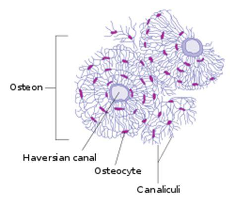 transverse section of bone pin osteon bone on pinterest