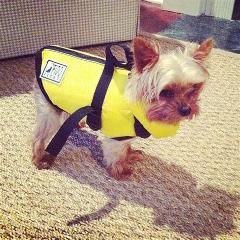 yorkie swimming in pool 35 best with dogs images on dolls and fashion wear