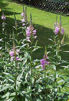 stauden stöcker gelenkblume violettrosa physostegia virginiana 180 bouquet
