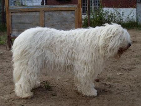 guard breeds big russian breeds pet photos gallery 7gbxbj72dr