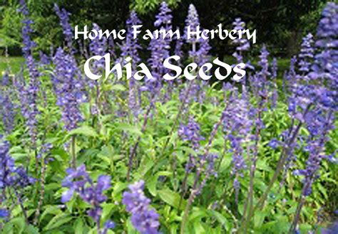 Chia Seeds Heirloom Order Now Free Shipping Chia Flower Garden