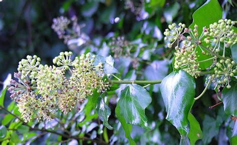 fiori edera sogna la felicit 224 il benessere a casa tua edera comune