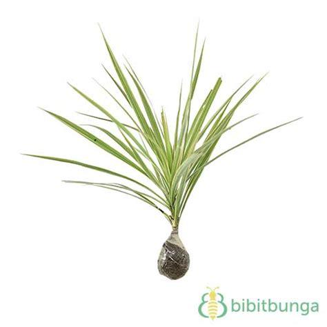 Tanaman Dracaena Florida tanaman dracaena marginata white bibitbunga