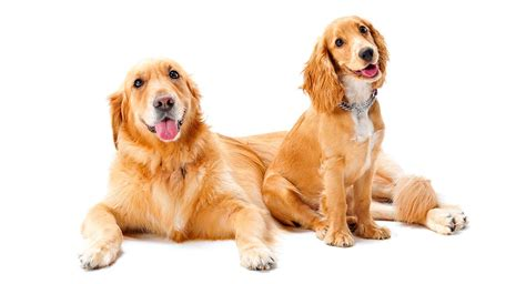 golden retriever mini a complete guide to miniature golden retrievers by the happy puppy site