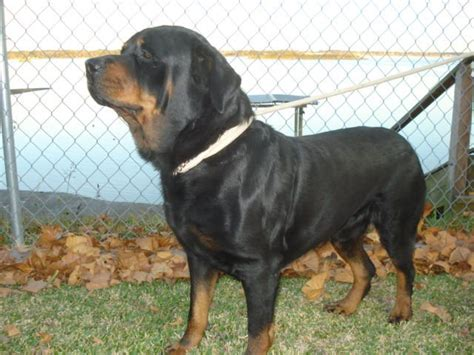 rottweilers for sale houston akc german rottweiler puppies for sale adoption from houston harris adpost