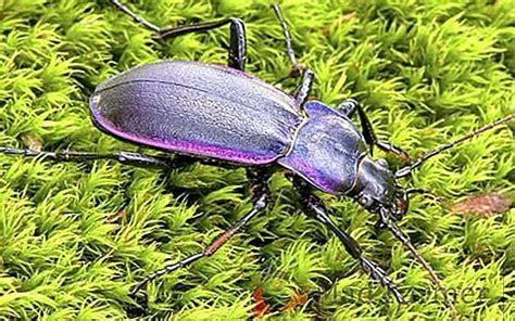 descrizione di un giardino scarabeo in giardino la descrizione di un insetto su cosa