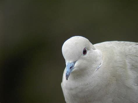 collared dove facts collared dove information twootz com