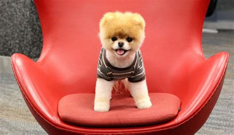 how big are pomeranians pomeranian puppies a shameless quot aaaaahhhh quot post lazer