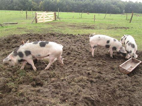bunte schweine für den garten bunte bentheimer schweine florian lau g 228 rtnermeister