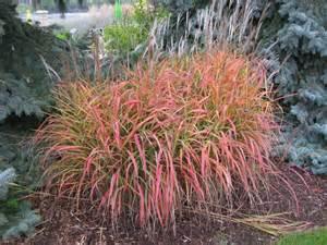 miscanthus purpurascens flame grass ornamental full sun