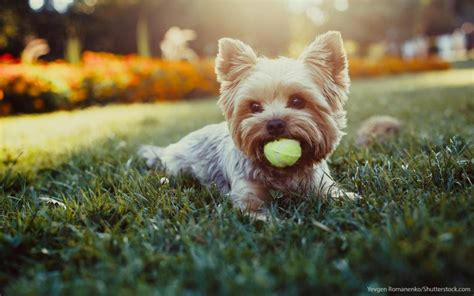yorkie knee issues the 30 most expensive breeds to own las vegas review journal