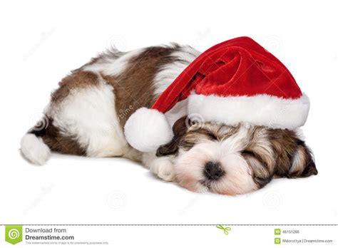 havanese prezzo il cucciolo di sveglio di sonno havanese sta sognando natale fotografia stock