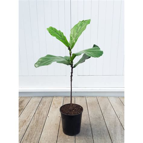 indoor plants nz fiddle leaf fig standard trunked plantandpot nz