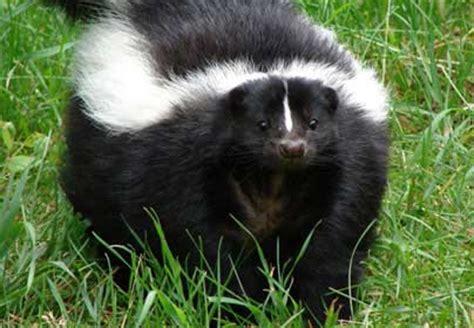 imagenes tiernas de zorrillos imagen zorrillo png wiki reino animalia fandom