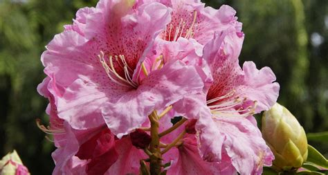 what is a state flower washington state flower the coast rhododendron