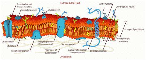 cell membrane detailed diagram medicalanatomycells