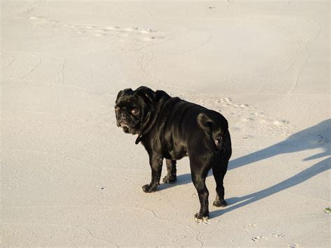 pug at the about pug page 7 of 67 pugs pugs pug stories all pugs