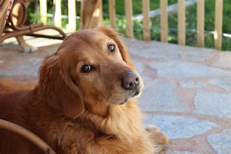 facts on golden retrievers 10 great facts about golden retrievers petairuk
