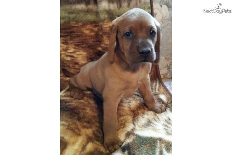 coonhound puppies for sale redbone coonhound puppies for sale breeds picture