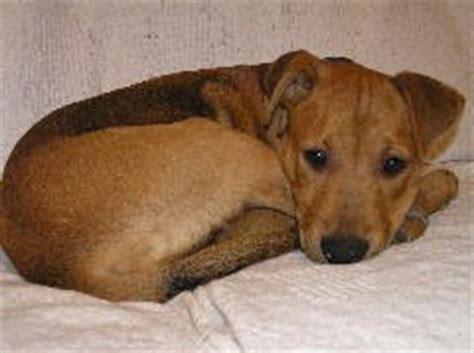 distemper for puppies canine distemper symptoms treatment of distemper in dogs