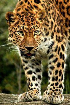 tigres en el barro 8493886327 el tigre blanco ciencia y naturaleza tigres blancos el tigre y blanco