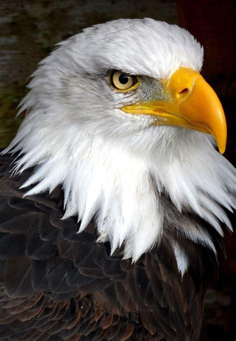 best eagle best 25 eagle ideas on eagles bald eagle and