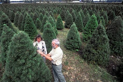 christmas tree buying guide   pick  care