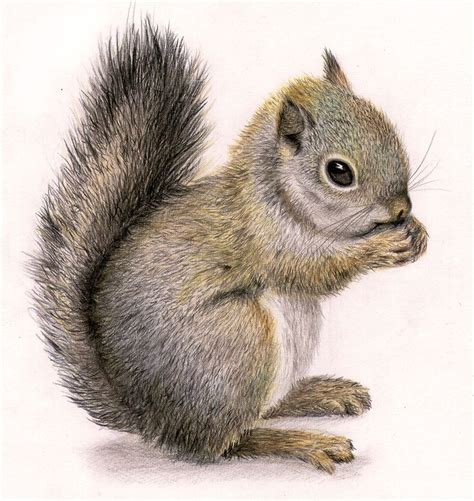squirrel images squirrel draw my drawings draw and squirrel