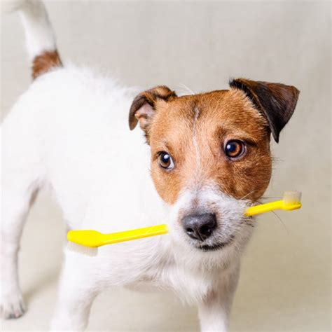 how often to brush dogs teeth how to safely brush your s teeth greenfield puppies