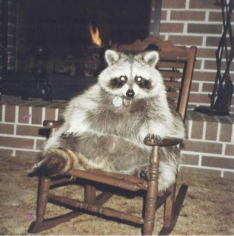fat raccoon rocking savannah pet raccoon cute raccoon fat raccoon