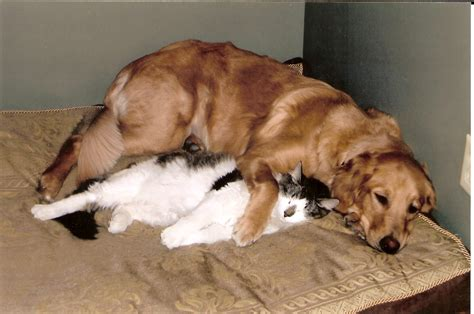 golden retriever and cats and cat cuddling breeds picture